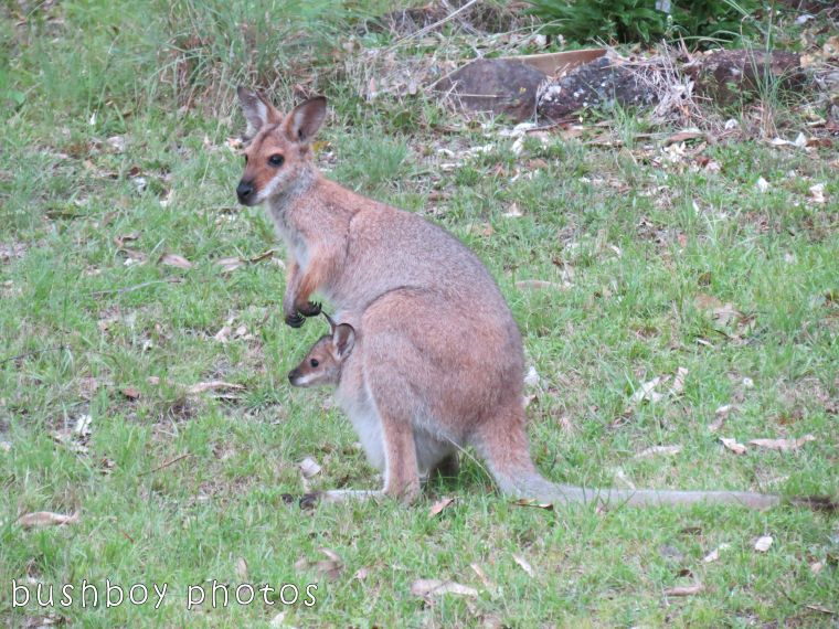 171102_blog challenge_peek_wallaby08