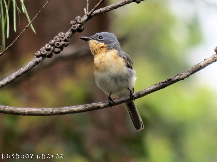 171108_blog challenge_letter l_leaden flycatcher