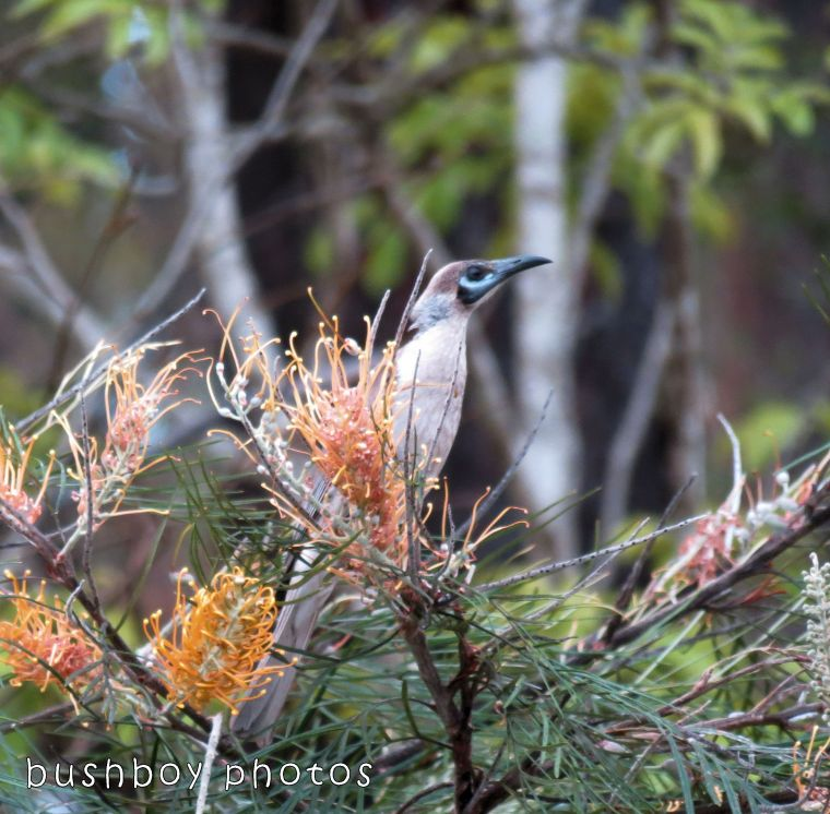 171108_blog challenge_letter l_little friarbird
