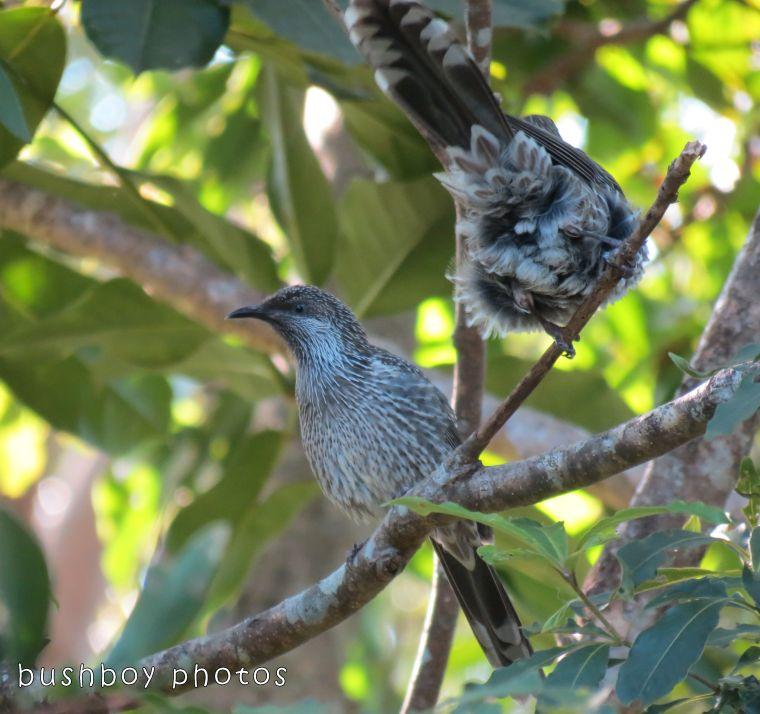 171108_blog challenge_letter l_little wattlebirds