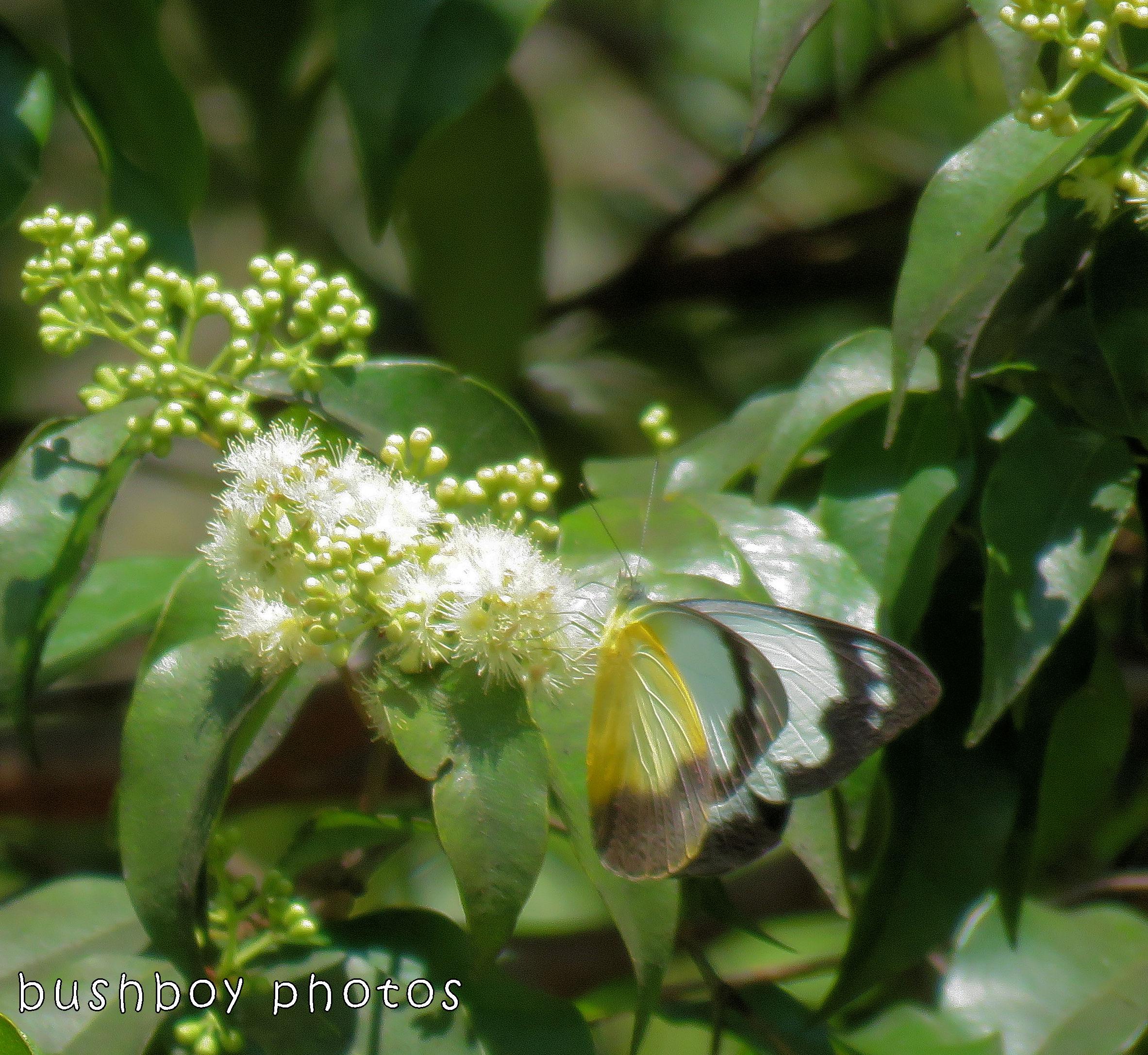 171115_blog challenge_letter M_butterfly_common albatross