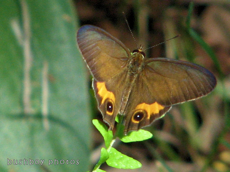 171115_blog challenge_letter M_butterfly_common ringlet