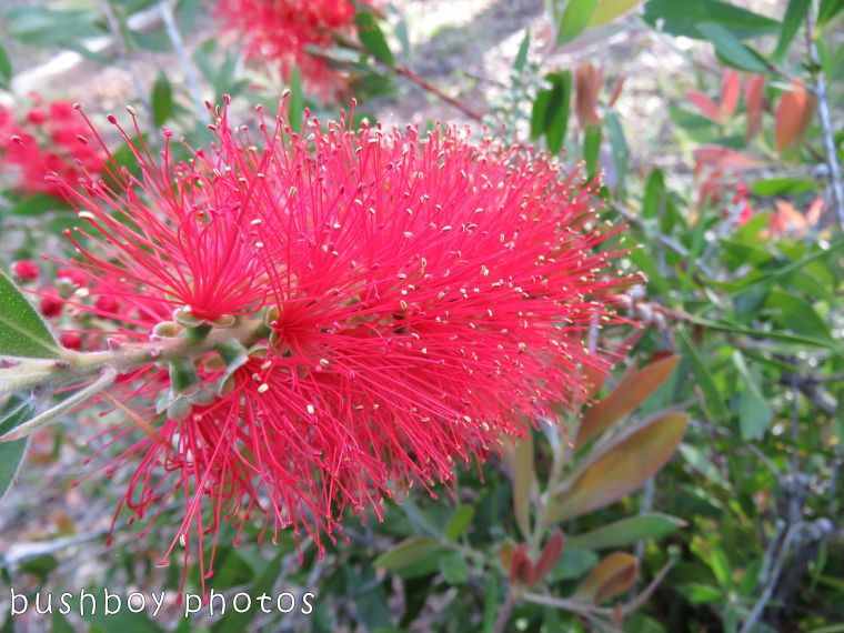 171123_blog challenge_transformation_bottlebrush flower01
