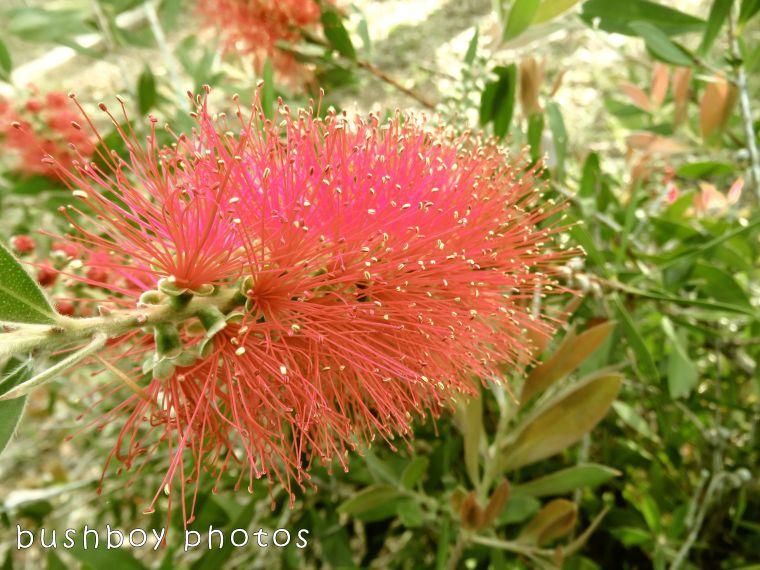 171123_blog challenge_transformation_bottlebrush flower02