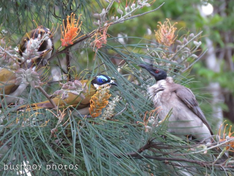 blue faced honeyeaters_noisy friarbird_named_home_oct 2017
