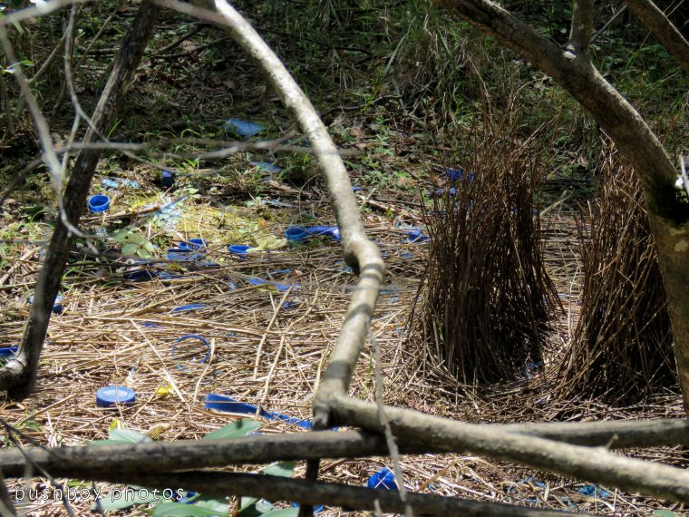 bowerbird bower_named_home_oct 2017