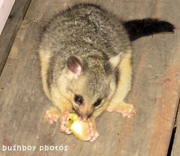 brush tailed possum_baby_named_home_oct 2017