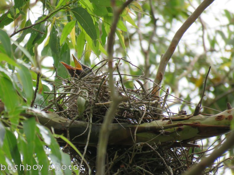 currie_the nest_just a beak