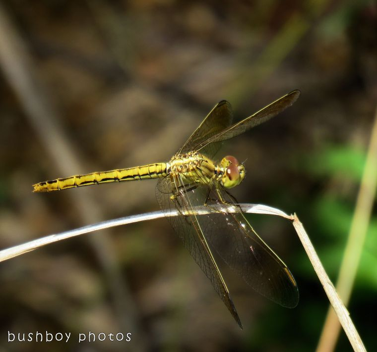 dragonfly_yellow_named_home_oct 2017