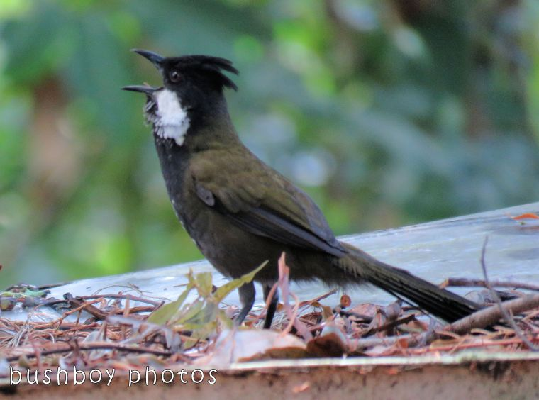 eastern whipbird_calling_named_binna burra_oct 2017
