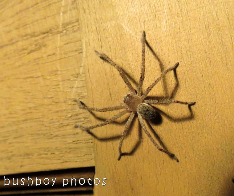 huntsman spider_named_home_oct 2017