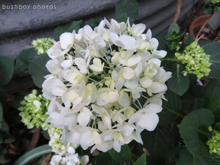 hydrangea_named_binna burra_oct 2017