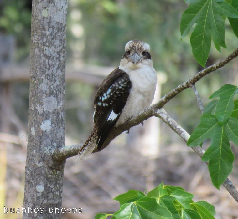 kookaburra_named_home_oct 2017