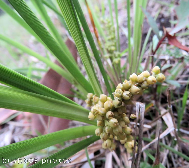 lomandra_flower_named_home_oct 2017