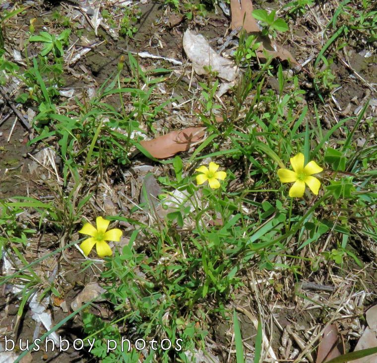 native flowers_yellow01_named_home_oct 2017
