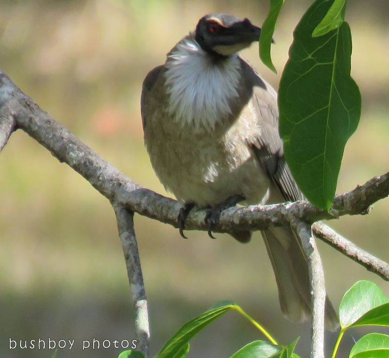 noisy friarbird_named_home_oct 2017