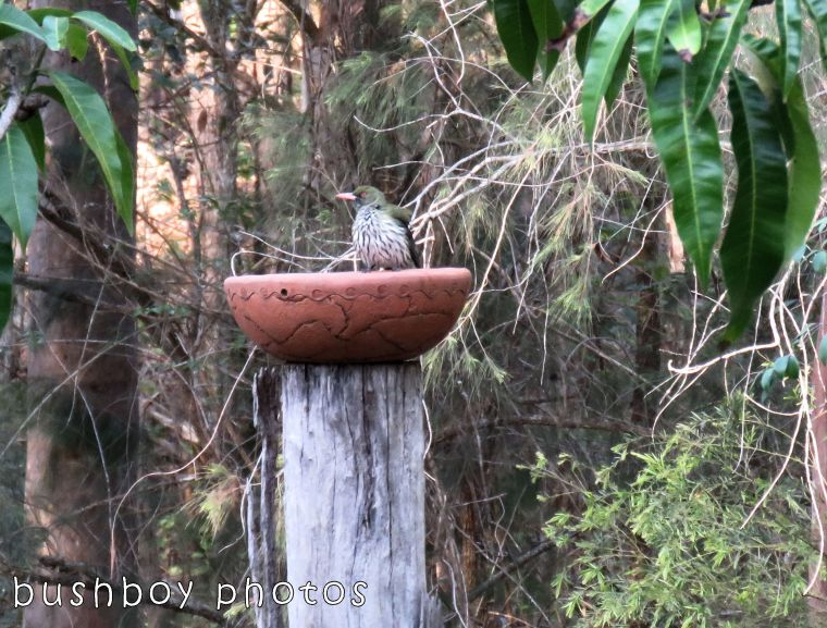 olive backed oriel_bird bath_named_home_oct 2017