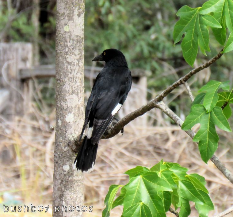 pied currawong02_named_home_oct 2017