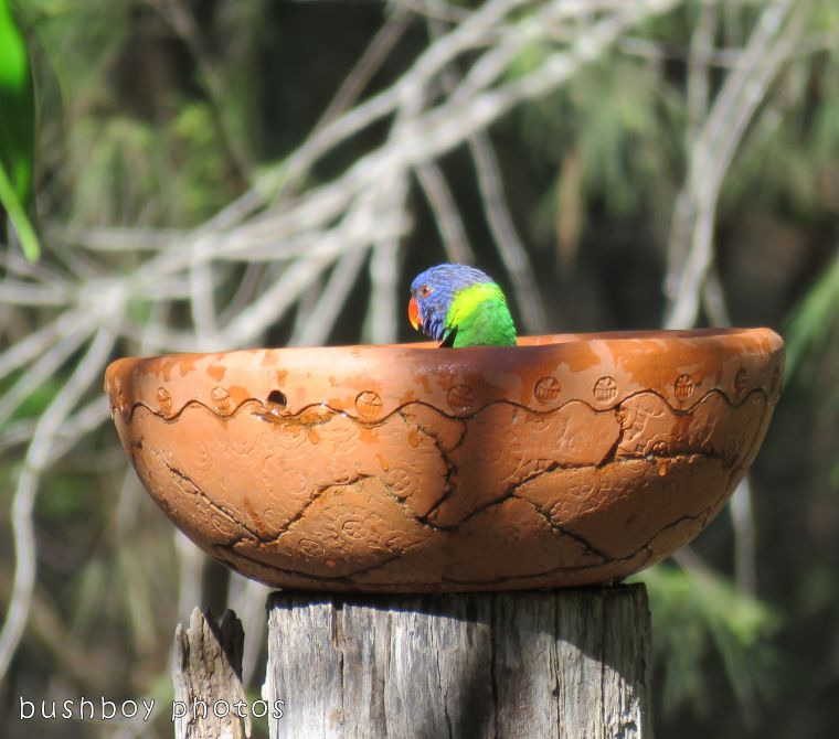 rainbow lorikeet_in bird bath_named_home_oct 2017