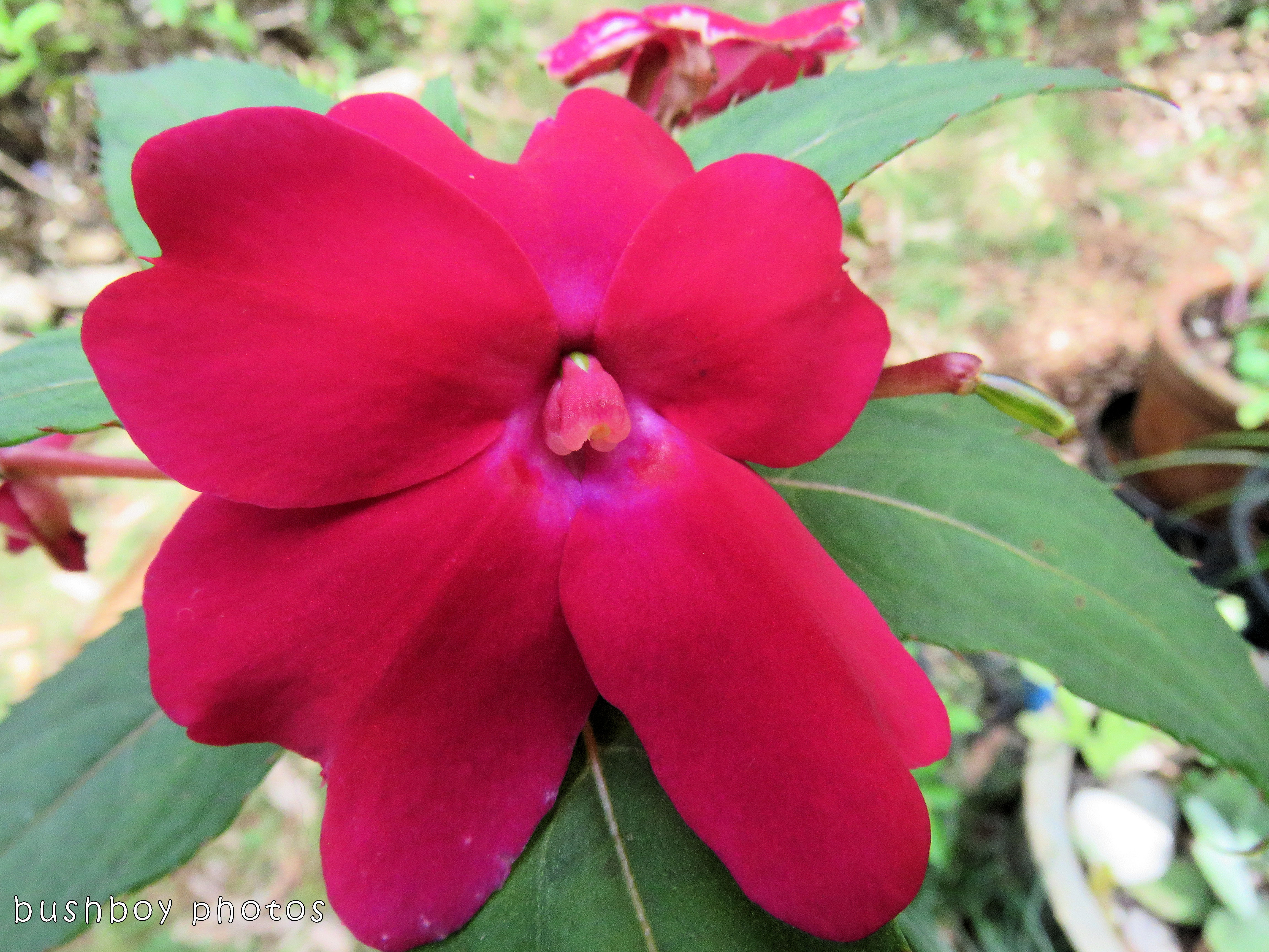 red flower_named_binna burra_oct 2017