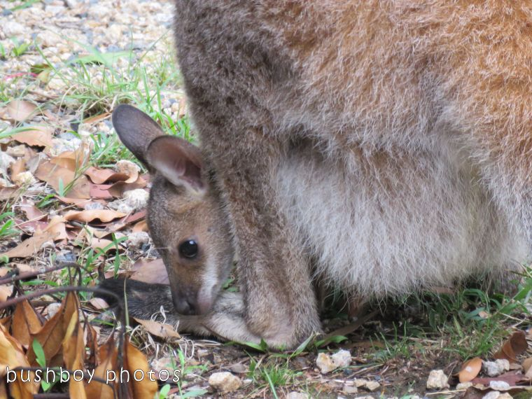 red necked wallaby_joey_named_home_oct 2017