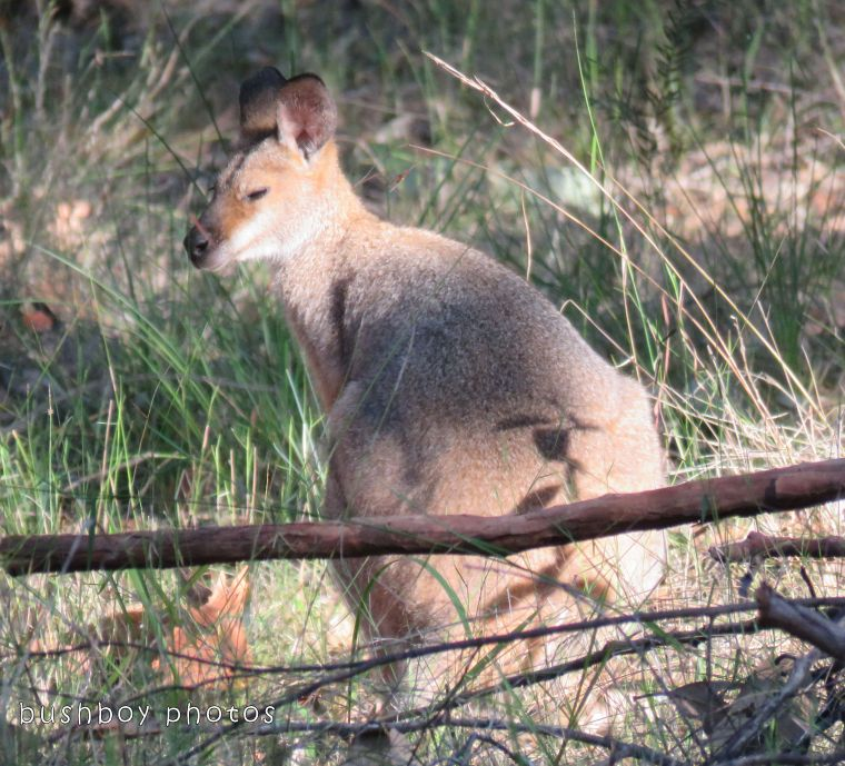 red necked wallaby_named_home_oct 2017