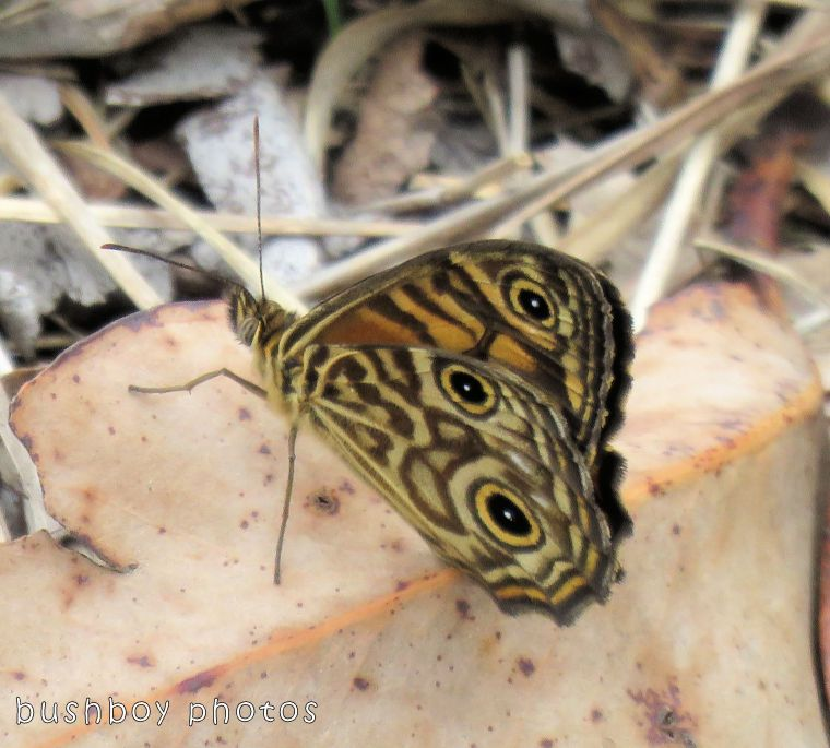 ringed xenica_wings closed_named_home_oct 2017