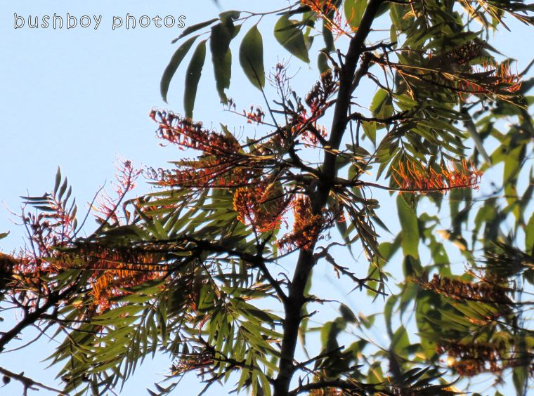 silky oak_flowers_named_home_oct 2017