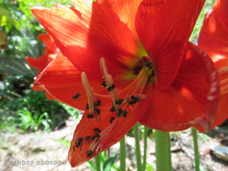 stingless native bees_hippeastrum_named_home_oct 2107