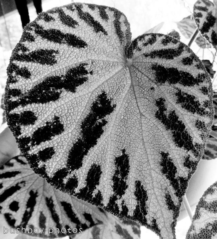 1`71204_blog challenge_blackandwhite_texture_begonia leaf01