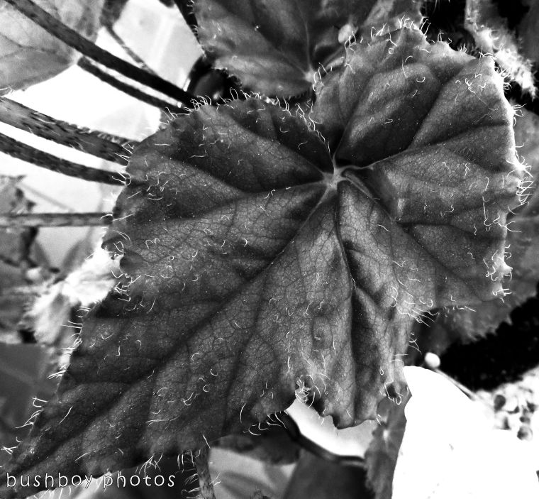 1`71204_blog challenge_blackandwhite_texture_begonia leaf02