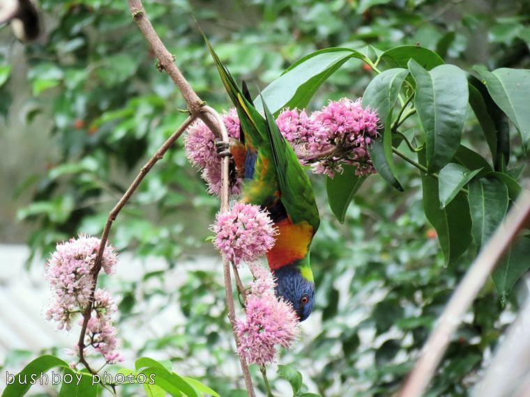 171206_blog challenge_letter p_parrot_rainbow lorikeets