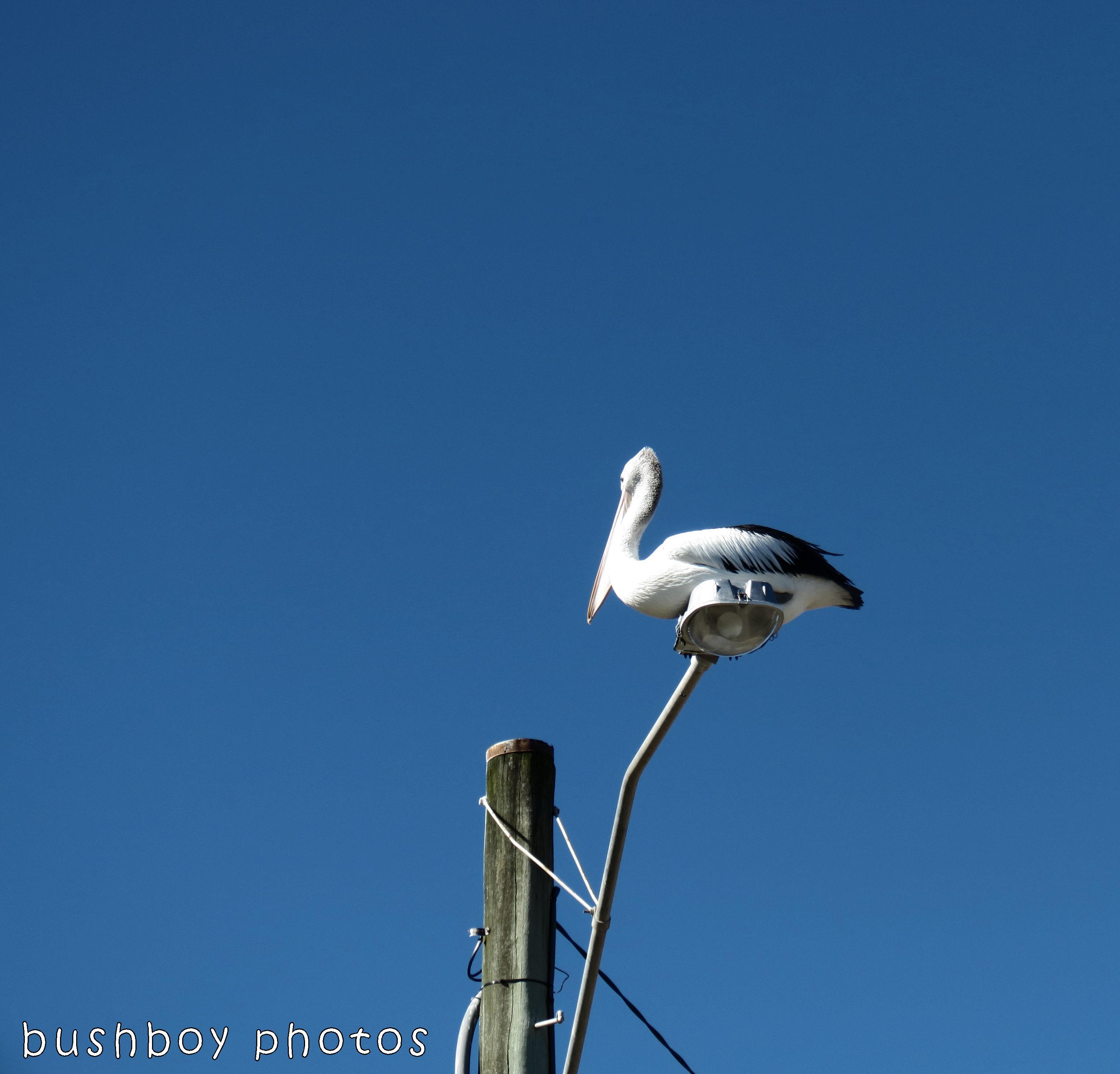 171210_blog challenge_elevation_pelican