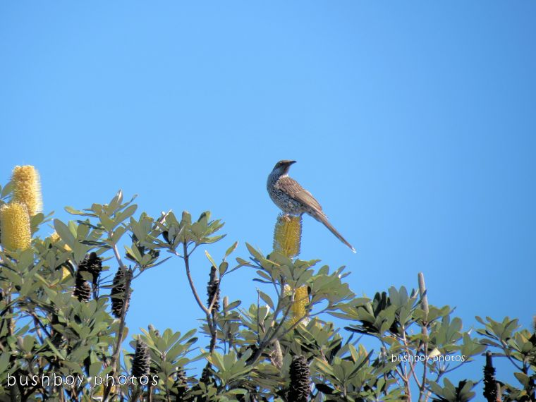 171210_blog challenge_elevation_wattlebird