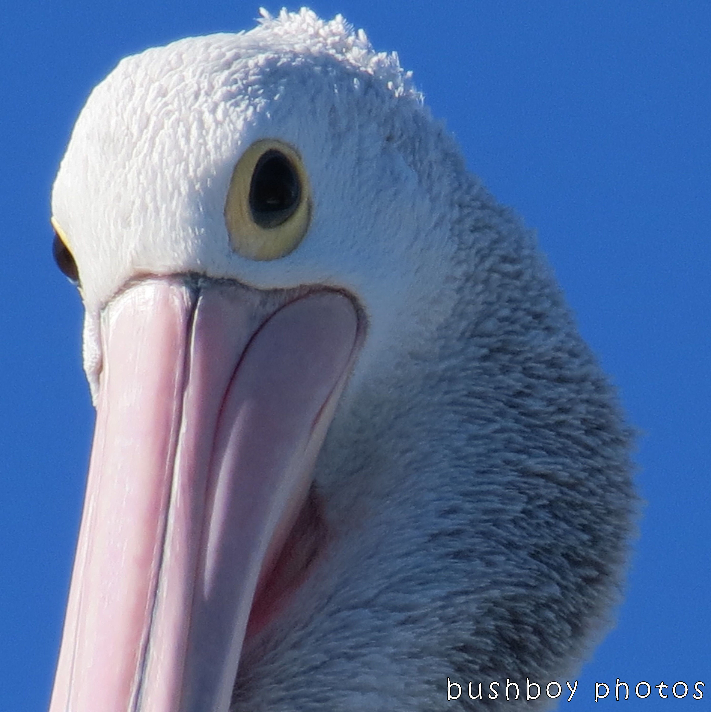 171228_blog challenge_white_pelican face