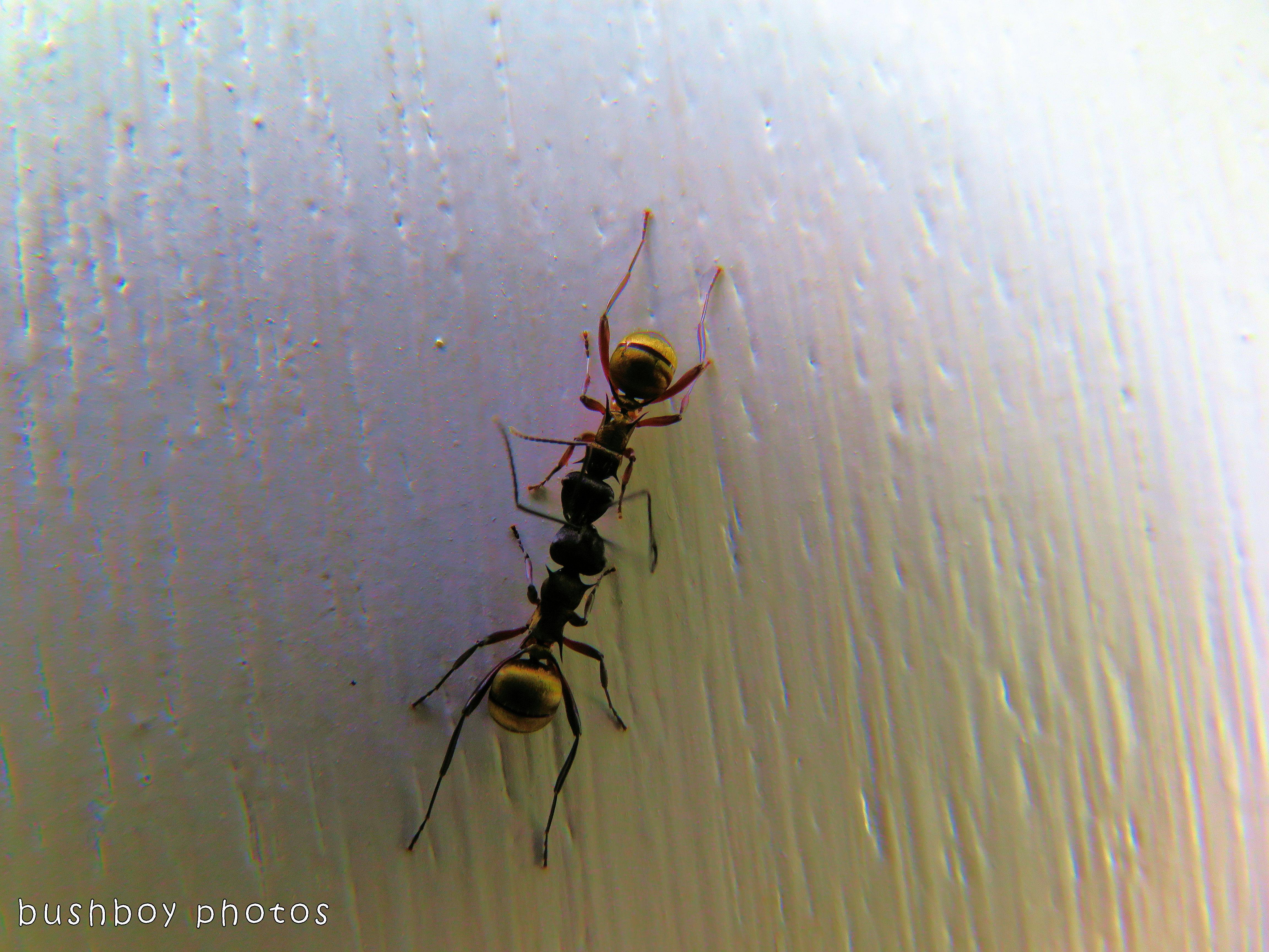 ants_fighting_named_binna burra_nov 2017