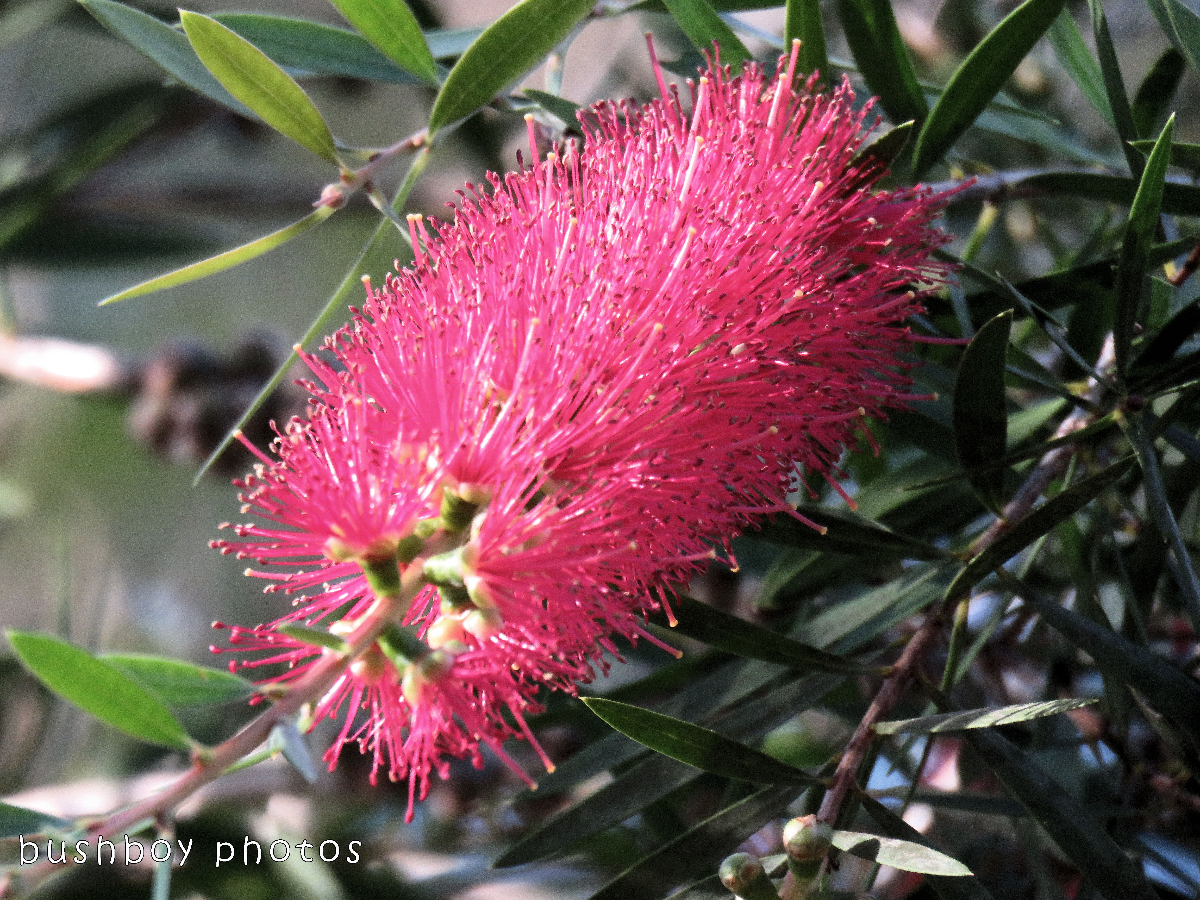bottlebrush flower_pink_named_home_nov 2017