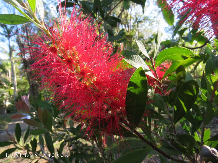 bottlebrush flower_red_named_home_nov 2017