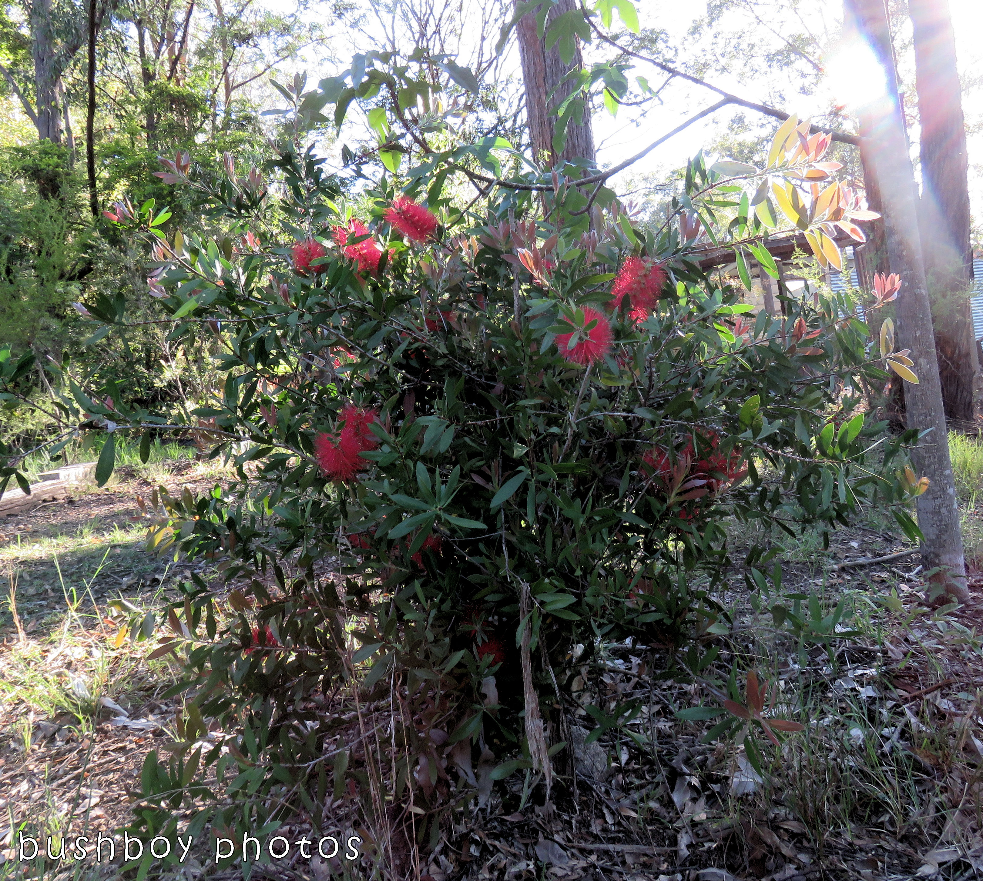 bottlebrush tree_red_named_home_nov 2017