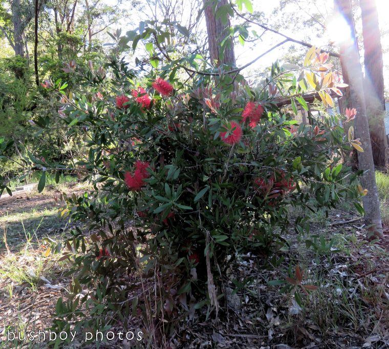 bottlebrush tree_red_named_home_nov 2017