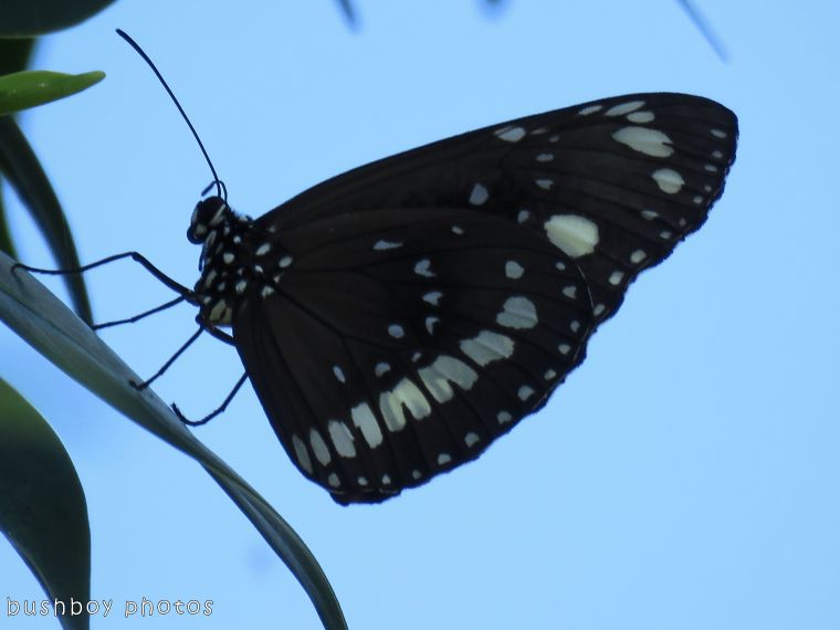 common crow butterfly_named_grafton_nov 2017