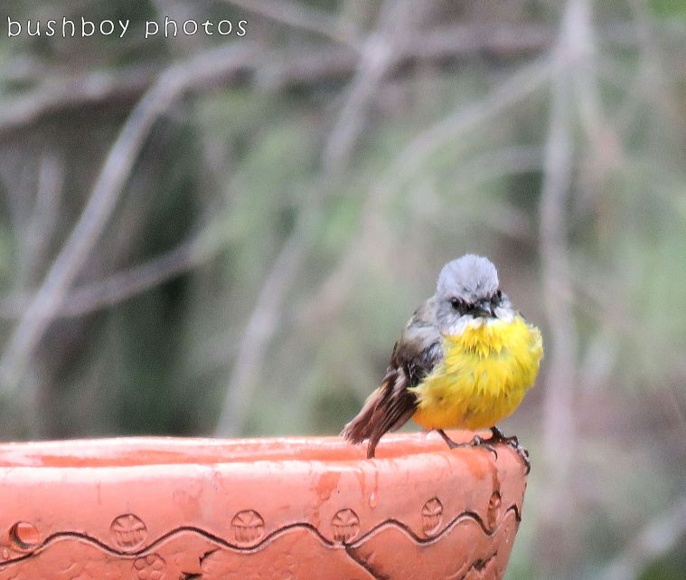 eastern yellow robin_birdbath_named_home_nov 2017