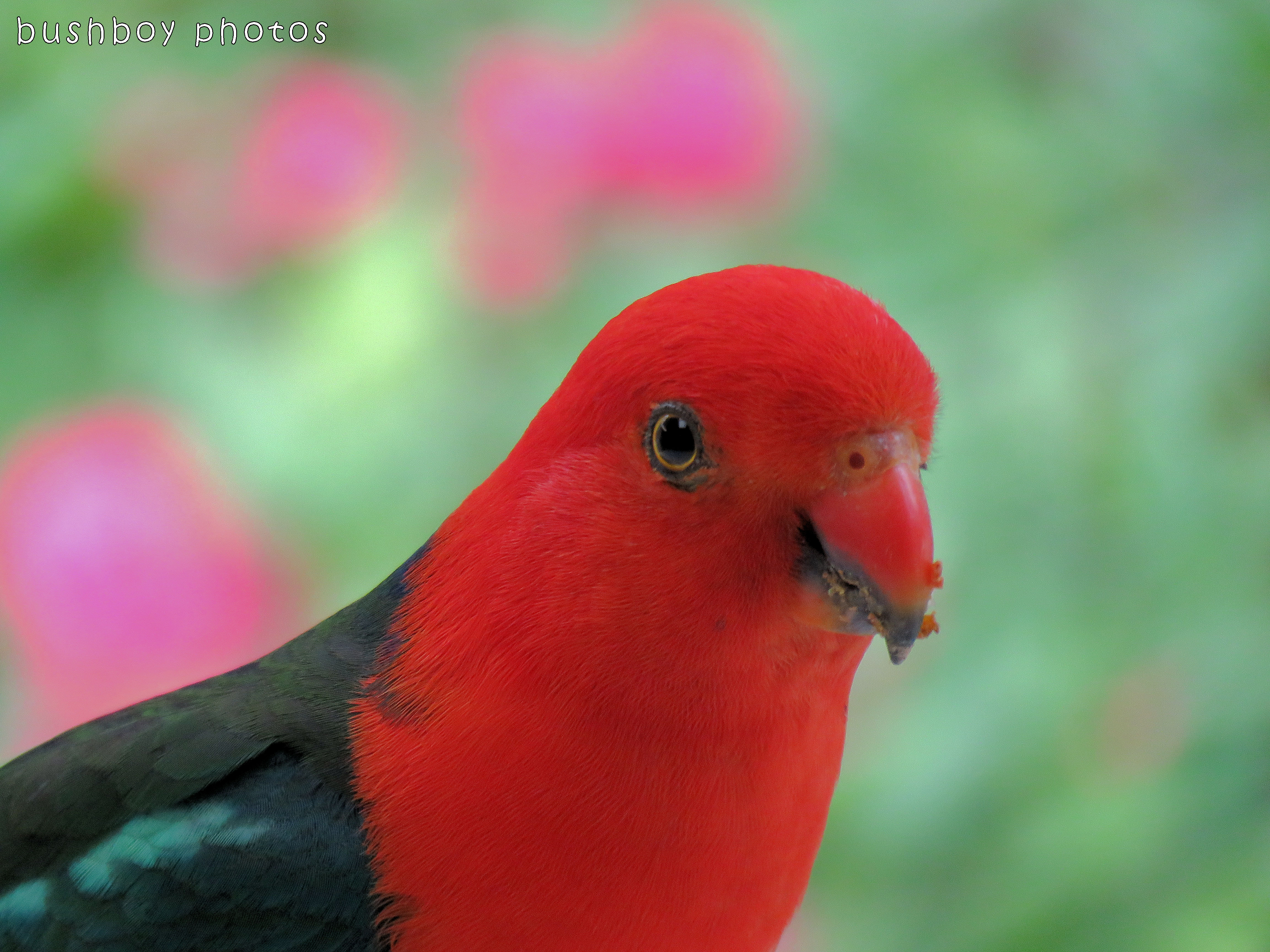 king parrot01_named_home_nov 2017