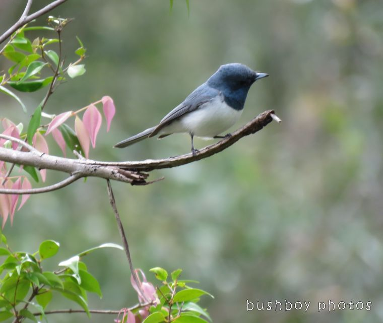 leaden flycatcher_named_home-nov 2017