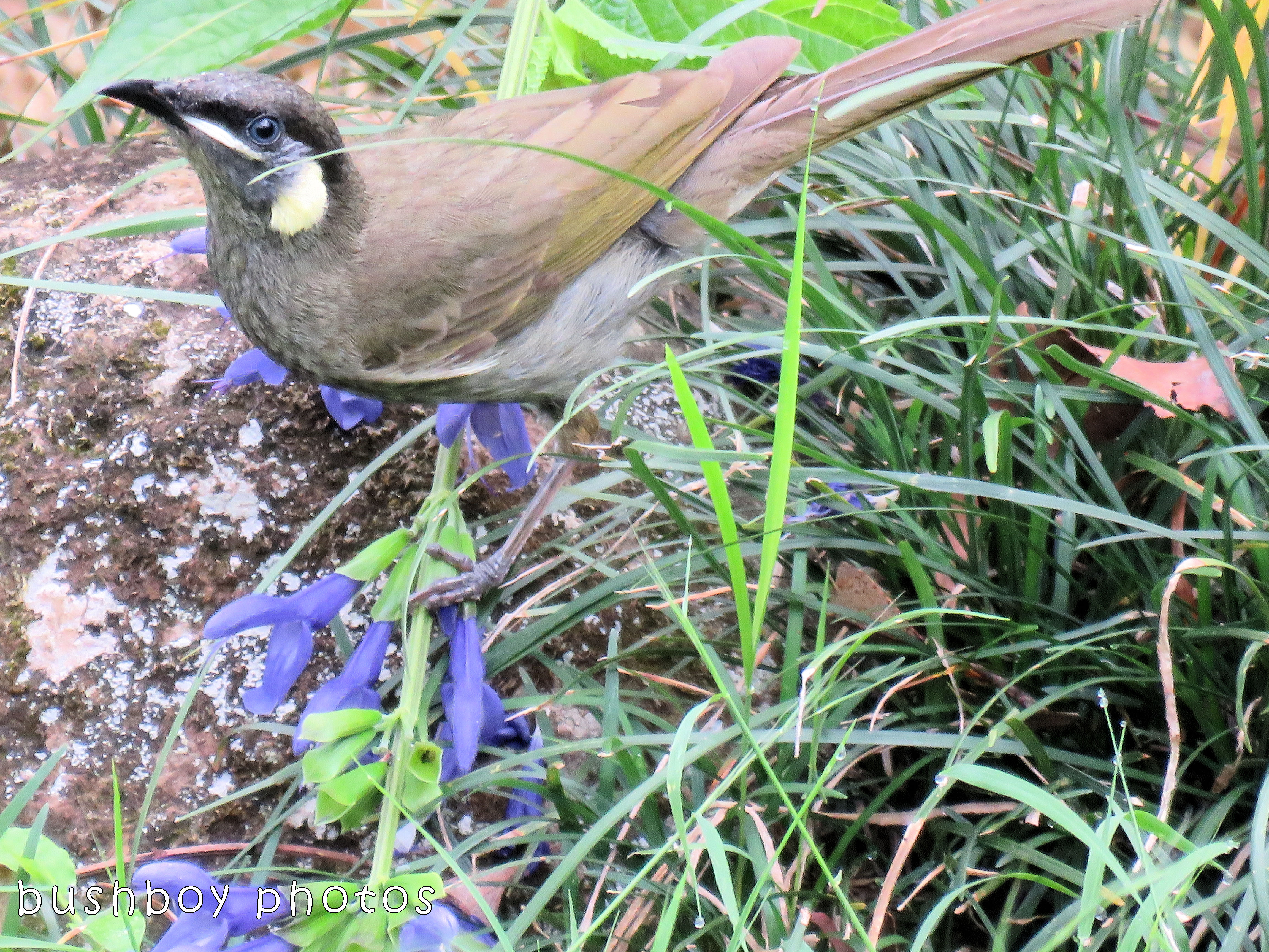 lewins honeyeater_named_binna burra_nov 2017