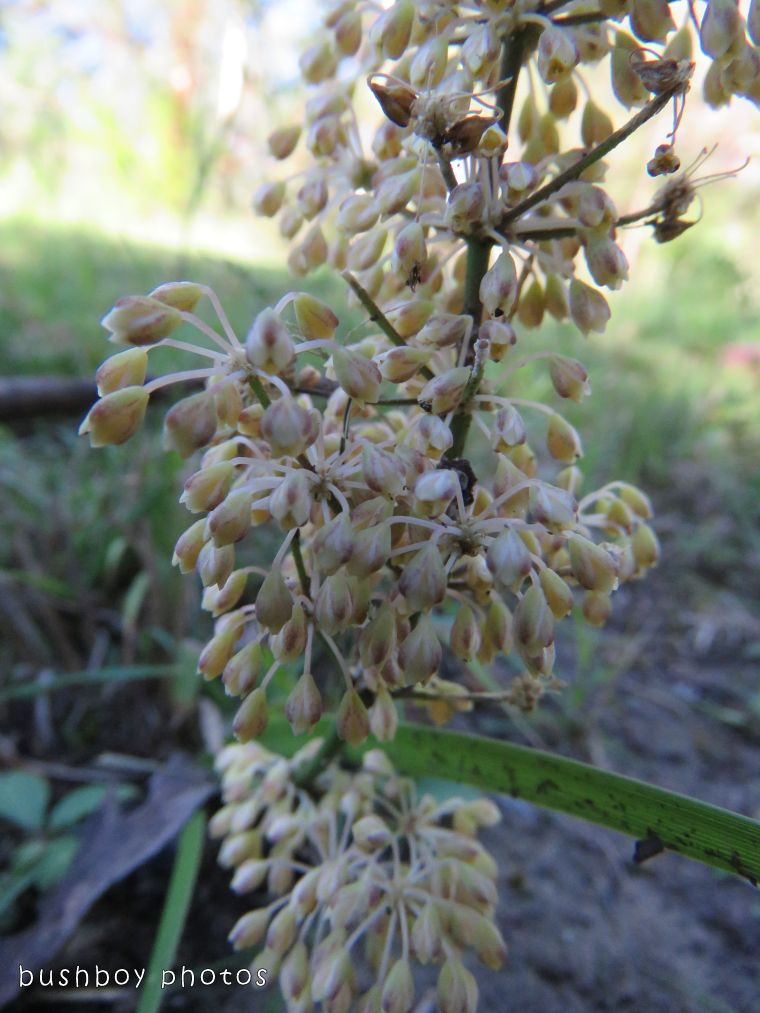 lomandra flowers_named_home_nov 2017