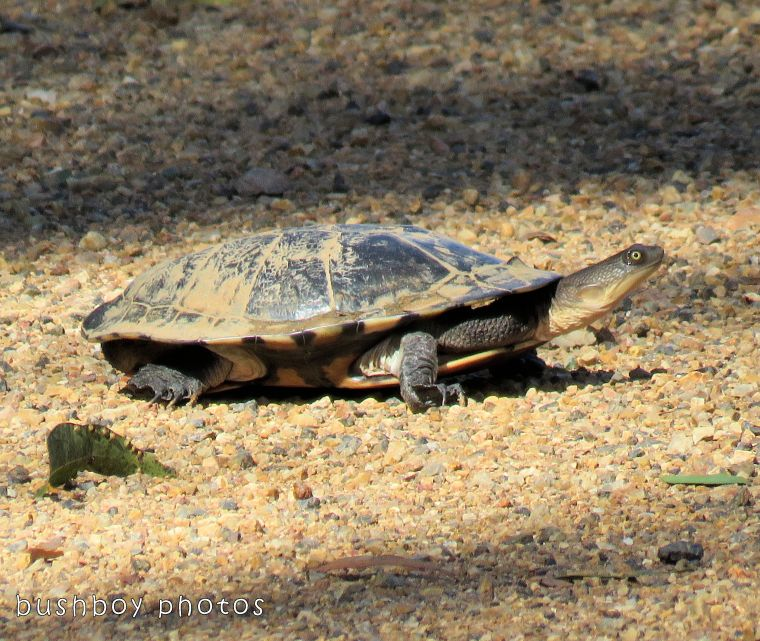 long necked tortoise_named_home_nov 2017