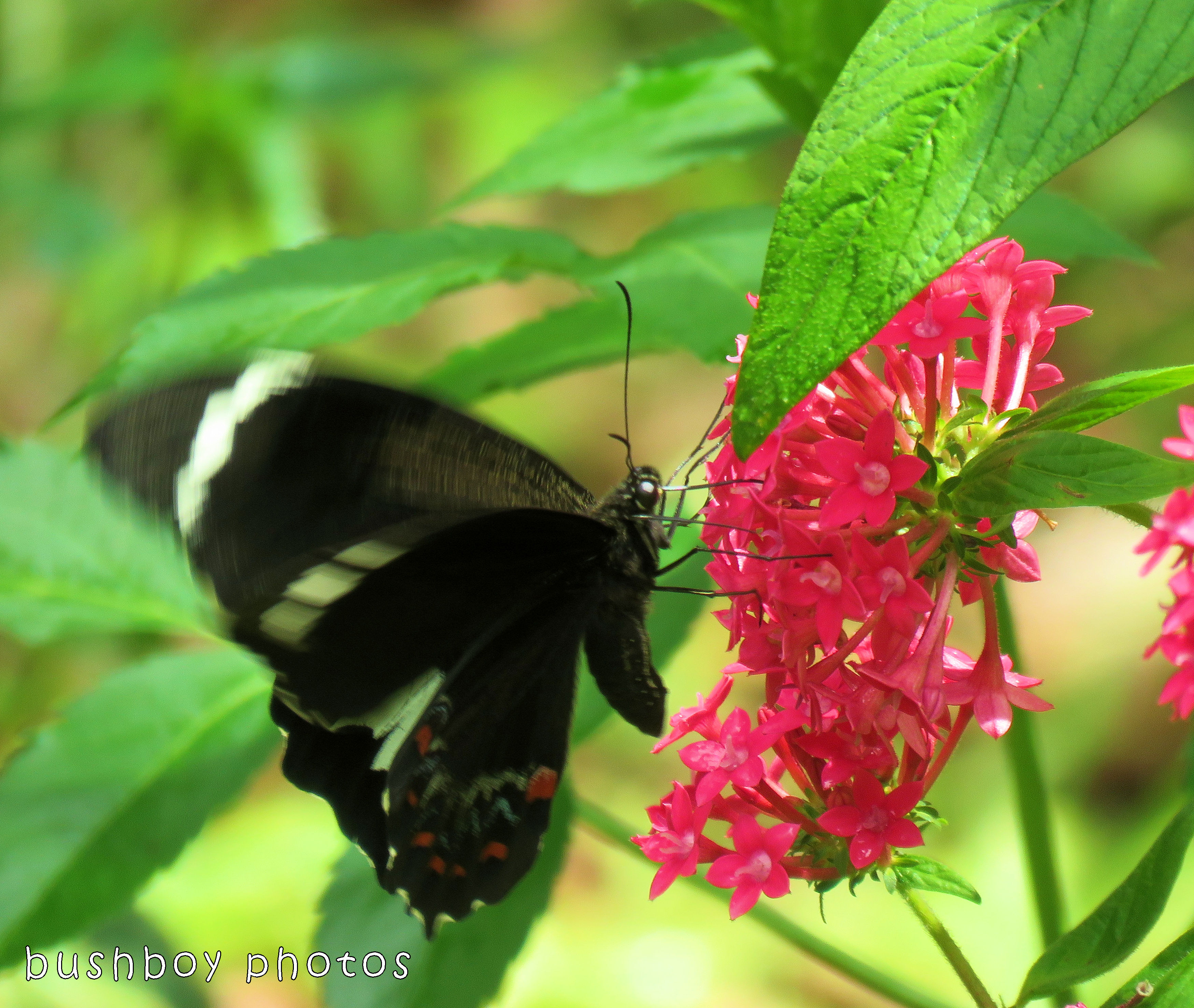 orchard swallowtail butterfly_named_binna burra_nov 2017