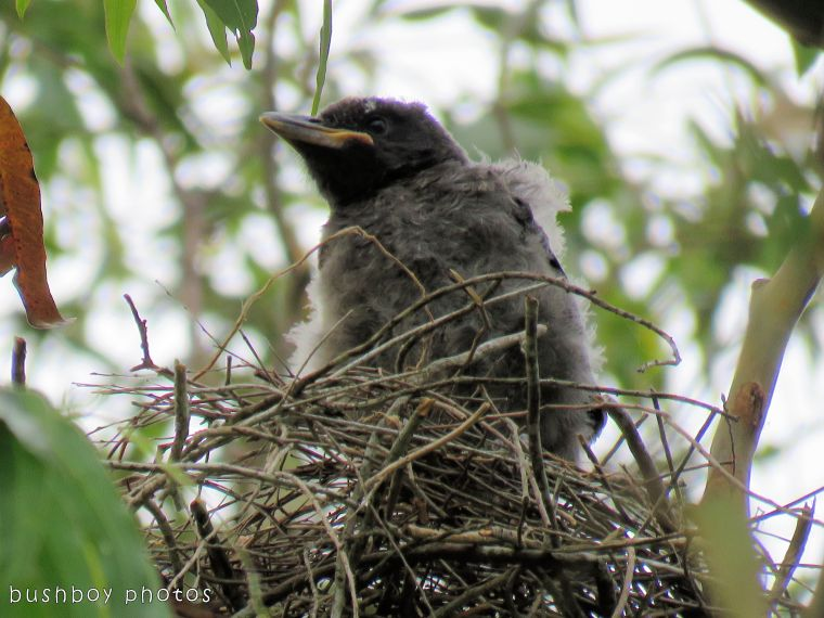 pied currawong chick01_named_binna burra_nov 2017