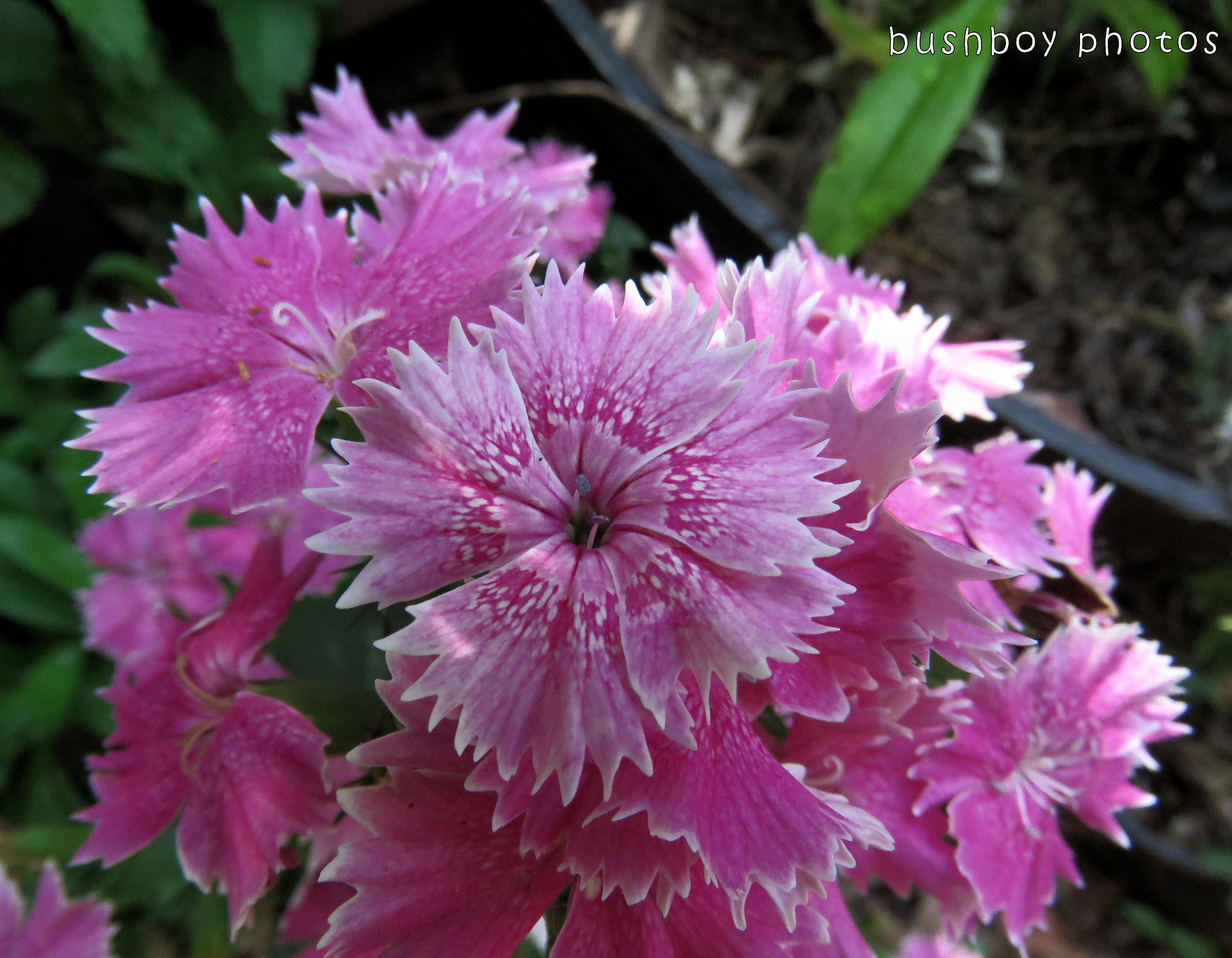 pink flower_named_binna burra_nov 2017